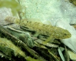 Rock goby, a common rock pool fish in Cornwall.